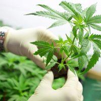 El cannabis, una alternativa medicinal y terapéutica